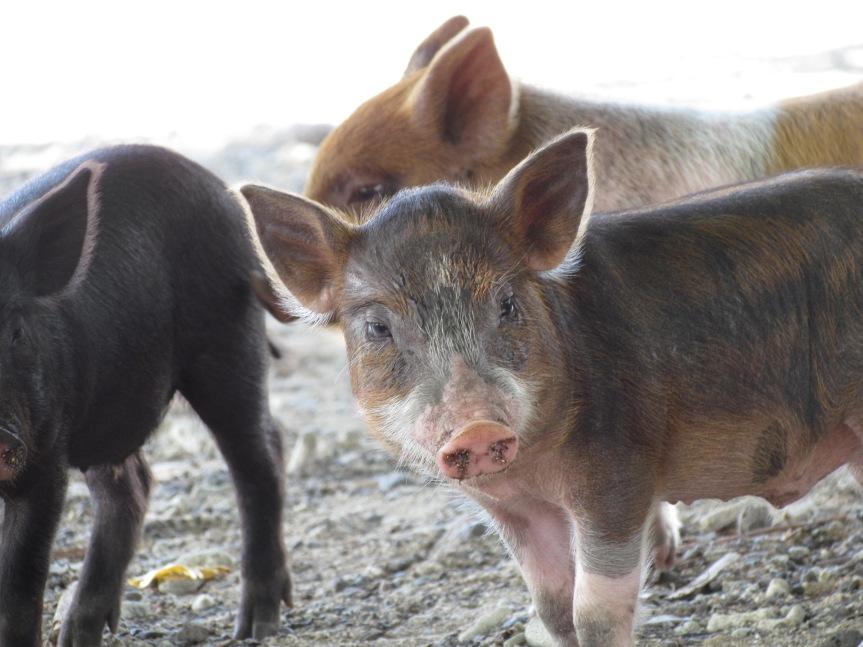 Travel_Tips_Samoa_Pig